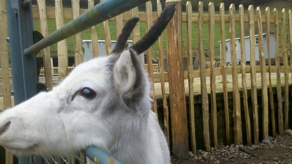 One very cute reindeer with a cleft picket fence